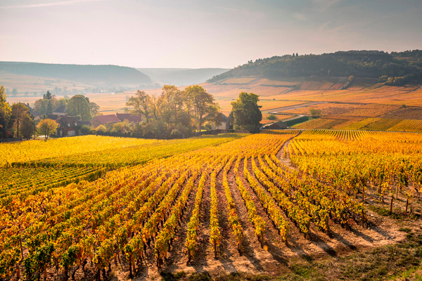 2th-century monk began to classify vineyards in Burgundy's Côte d'Or